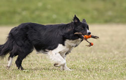 Border collie running Stock Photos