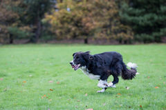 Border Collie Stock Photo