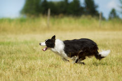 Border collie running on grass Stock Images