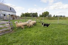 Border collie running with intense expression and tongue hanging out after group of sheep stock photos