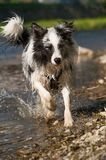 Border Collie running in a lake. And looking to camera royalty free stock images
