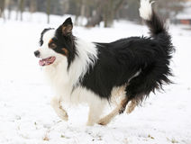 Border collie running Royalty Free Stock Images