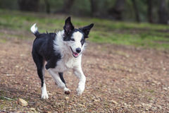 Border Collie running in a rural area. A black and white Border Collie runs in the country with a happy expression on its face Royalty Free Stock Photo