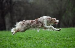 Border collie runs fast and free in spring field. The border collie runs fast and free in spring field Royalty Free Stock Image