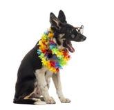 Border collie sammanträde och bärande solglasögon och hawaianska lei Fotografering för Bildbyråer