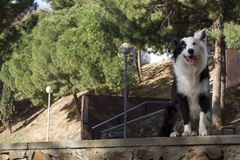 Border collie sammanträde på stenväggen i parkera Arkivfoto