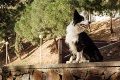 Border collie sammanträde på stenväggen i parkera Royaltyfri Bild