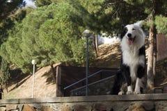 Border collie sammanträde på stenväggen, i parkera och smilling Arkivbild