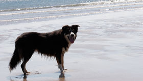 Border Collie on sandy beach Royalty Free Stock Images