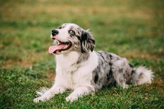 Border Collie Or Scottish Sheepdog Adult Dog Sitting In Green Gr. Ass royalty free stock photography