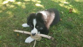 Border collie see royalty free stock images