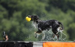 Border Collie Shakes Off royalty free stock photo