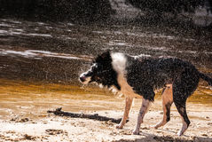 Border Collie Shakes Off Water Frozen Motion. Photograph of a Border Collie who was recently in the river water on the river bank shaking off water.  Fast Stock Images