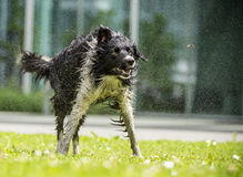 Border Collie shaking himself dry. Royalty Free Stock Photos