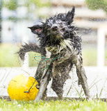 Border Collie shaking himself dry. Stock Images