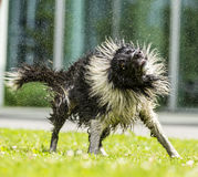 Border Collie shaking himself dry. Royalty Free Stock Photography