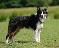 Border collie or sheep dog. Friendly dog, possibly a Border Collie or a Scottish Sheep dog stock photos