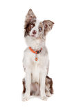 Border collie sheepdog Stock Photography