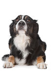 Border collie sheepdog Royalty Free Stock Photo
