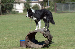 Border collie sheepdog Royalty Free Stock Photography