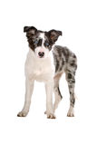 Border collie sheepdog puppy Stock Photo
