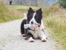 Border collie sheepdog waiting Stock Photos