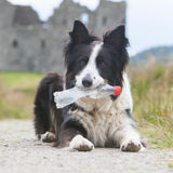 Border collie sheepdog waiting Royalty Free Stock Photography