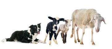 Border collie and sheeps Stock Photography