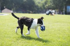 Border Collie. Is a shepherd dog originating from the border of Scotland and England, which mainly assists farm herding. It is the most common species of Collie royalty free stock images