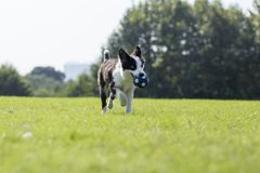 Border Collie. Is a shepherd dog originating from the border of Scotland and England, which mainly assists farm herding. It is the most common species of Collie royalty free stock photos