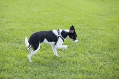 Border Collie royalty free stock photo