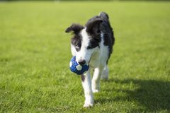 Border Collie. Is a shepherd dog originating from the border of Scotland and England, which mainly assists farm herding. It is the most common species of Collie stock photo