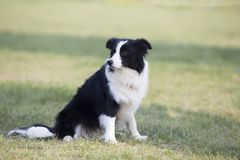 Border Collie. The border Shepherd Border Collie, native to the Scotland border, is one of the Collie shepherds, with a strong shepherd instinct, an instinctive royalty free stock photography