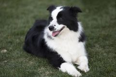 Border Collie. The border Shepherd Border Collie, native to the Scotland border, is one of the Collie shepherds, with a strong shepherd instinct, an instinctive royalty free stock photos