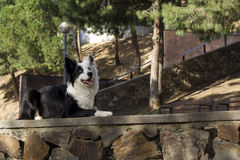 Border collie si trova sulla parete di pietra nel parco anche Fotografia Stock