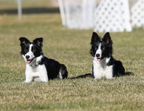 Border collie sisters posing together laying in the grass Royalty Free Stock Photos