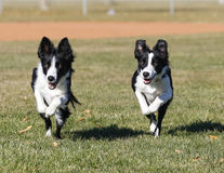 Border collie sisters in sync at the park Royalty Free Stock Images