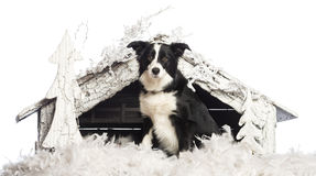 Border Collie sitting Royalty Free Stock Photo