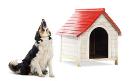 Border Collie sitting and barking. Next to a kennel against white background royalty free stock photos
