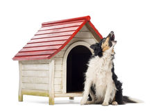Border Collie sitting and barking Royalty Free Stock Images