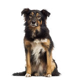 Border collie sitting, Royalty Free Stock Photography