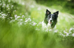 Border Collie. Sitting on the Meadow between White Blooming Flowers stock photography