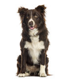Border Collie sitting, 9 months old Royalty Free Stock Images