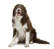 Border Collie, sitting with mouth open Royalty Free Stock Photography