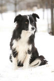 Border collie sitting Royalty Free Stock Images