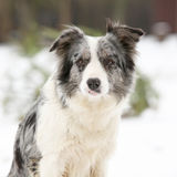 Border collie sitting Royalty Free Stock Photography