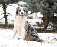 Border collie sitting Stock Images