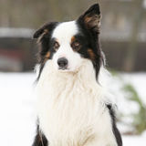 Border collie sitting Stock Photos