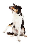 Border Collie Sitting And Offering Paw Royalty Free Stock Image