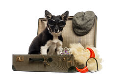 Border collie sitting in an old vintage suitcase full of accesso Stock Photos
